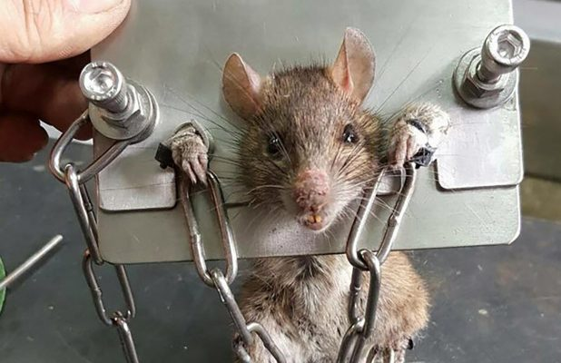 33 cách diệt chuột tại nhà, ngoài đồng ruộng, trong phòng trọ sáng tạo và hiệu quả nhất